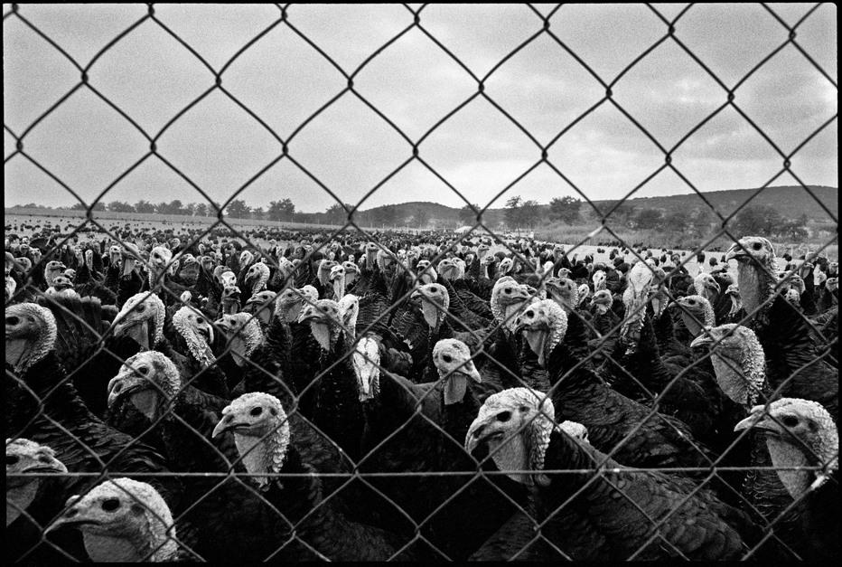 GREECE. Macedonia. Turkey farm. 1988.