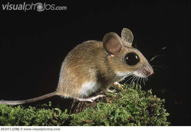 Yellow-necked Field Mouse (Apodemus flavicollis) adult at night, Europe